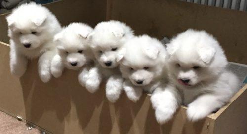 Regalo adorabili cuccioli samoiedo