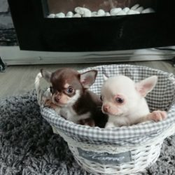 gorgeous-tiny-chihuahua-puppies-for-sale-5a0c5eca911c1