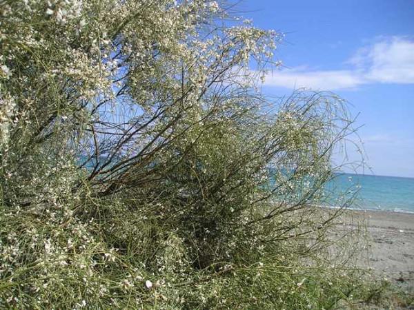 Ginestra bianca protetta dalla convenzione di barcellona for Alberghi barcellona sul mare