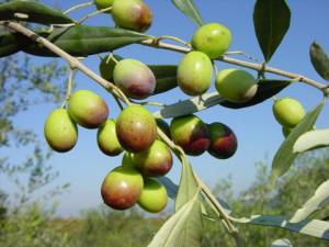 oliva tonda di Strongoli