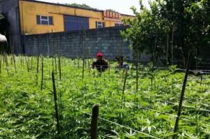 Pianatagione marijuana