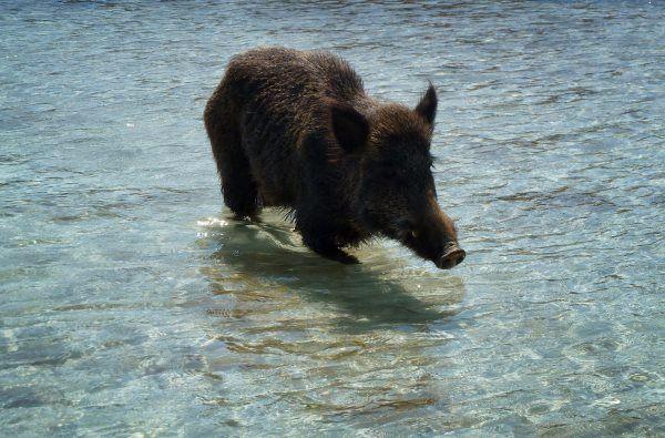Cinghiale fa bagno al mare curiosita e paura in calabria - Bagno al mare ...