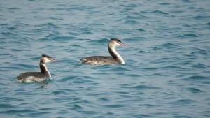 Fenicotteri su Punta Alice, continua lo spettacolare passaggio sui cieli di Cirò Marina3
