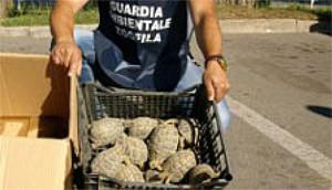 Carabinieri e Guardie Ecozoofile sequestrano 171 tartarughe Testudo Hermanni