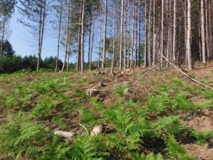 Abbattuti illegalmente 464 pini a Cotronei1