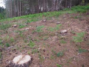Abbattuti illegalmente 464 pini a Cotronei2