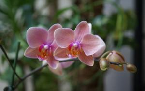 orchidea-phalenopsis_NG3