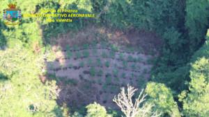 4 piantagioni di Canapa indiana individuate dall'alto, grazie al Comparto aereo della Finanza (1)
