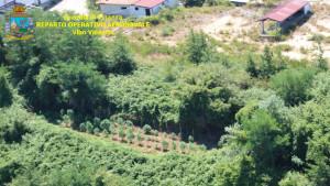 4 piantagioni di Canapa indiana individuate dall'alto, grazie al Comparto aereo della Finanza (2)