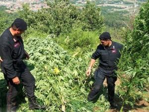 """Blitz antidroga dei Carabinieri di Caccuri, scoperta una piantagione di """"marijuana"""" (1)"""