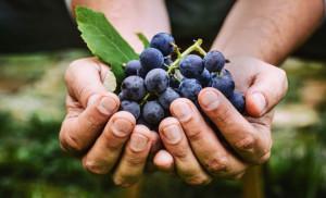 Elogio dell'uva- tra le tante qualità, un toccasana per la cura dell'insonnia e del nervosismo
