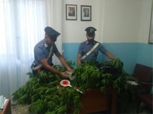 """I Carabinieri di Mesoraca scoprono una coltivazione di """"marijuana"""" in un'abitazione, un arresto"""