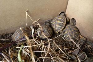 Teneva in casa nove tartarughe, denunciato per detenzione illegale di specie protette