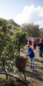 """""""La Festa della Vendemmia"""" tra profumi di uve e filari di viti della Cantina Librandi di Cirò Marina (12)"""