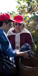 """""""La Festa della Vendemmia"""" tra profumi di uve e filari di viti della Cantina Librandi di Cirò Marina (8)"""