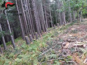 Abbatte illegalmente 62 alberi, denunciato un pensionato di Mesoraca (1)
