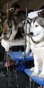 Grande successo per la VI Esposizione nazionale Canina a Cirò Marina (30)