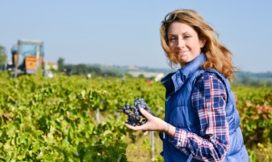 cheerful young woman harvesting grapes in vineyard during wine harvest season autumn