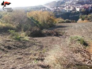 Mesoraca Estirpa macchia mediterranea senza alcuna autorizzazione, denunciato il presunto responsabile (1)