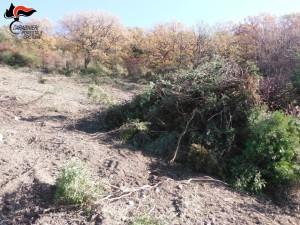 Mesoraca Estirpa macchia mediterranea senza alcuna autorizzazione, denunciato il presunto responsabile (2)