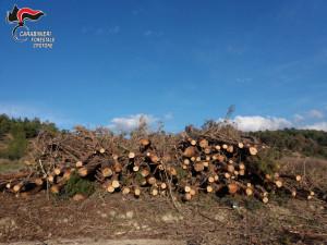 Tagliata un'area di una pineta senza alcuna autorizzazione a Isola Capo Rizzuto (3)